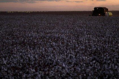 Un algodón genéticamente modificado podría servir para la alimentación humana