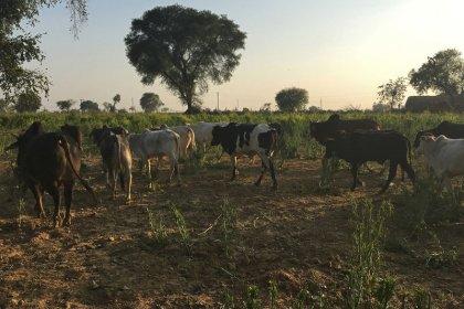 Las vacas callejeras, otro conflicto rural para Modi de cara a las elecciones en India