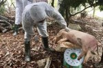 Dịch tả lợn Châu phi tạm lắng: Cẩn trọng khi tái đàn