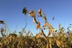 Pékin autorise l'importation de maïs et de soja transgénique américain