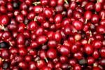 Giá nông sản hôm nay 21/7: Giá cà phê tăng, giao dịch vẫn thận trọng, giá tiêu đi ngang