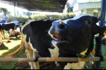 Produksi Susu Sapi Nasional Naik Jadi 1,6 Juta Ton, Amran Sebut Berkat Kebijakan Tepat