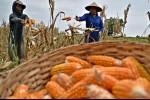 Sulteng Ditarget Jadi Lumbung Jagung Nasional