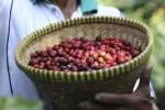 Giá nông sản hôm nay 22/3: Giá cà phê giảm nhẹ 100 đồng/kg, giá tiêu ngừng đà giảm