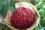 Giá nông sản hôm nay 18/8: Giá cà phê tiếp tục giảm sâu, rơi xuống đáy, giá tiêu bất động