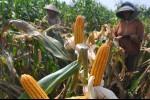 Hingga 2030, Indonesia Tak Bisa Lepas dari Impor Jagung, Kata Peneliti