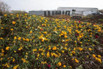 Covid-19: dagli USA alla Liguria, settore florovivaistico in crisi