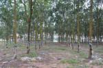 Nguyên giám đốc nông trường cao su 'phù phép' biến nhiều thửa đất công thành đất tư