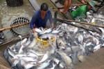 Hoa Kỳ quyết định kiểm tra cá tra Việt Nam sớm 1 tháng