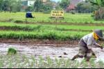 Petani Aceh: Bibit Bantuan Pemerintah Kualitasnya Jelek Sekali