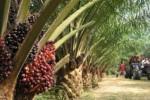 Terlilit Utang, Golden Plantation Akan Divestasi Aset