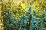 Amid Marijuana Boom, Cost Data Leave Analysts Dazed and Confused