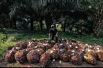 Langkah Malaysia Lawan UU Diskriminatif UE Soal Minyak Kelapa Sawit