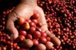 Giá nông sản hôm nay 26/5: Giá cà phê tiếp tục giảm, bán ra chậm, giá tiêu nhích lên 1000 đồng/kg