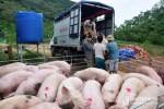 Giá heo hơi hôm nay 21/8: Lợn hơi duy trì mức cao, thương lái không dám