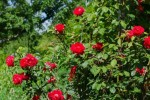 Obbligazioni, le tre rose per rinvigorire il giardinetto del reddito fisso