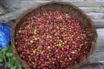 Giá nông sản hôm nay 23/3: Còn 50.000 đồng/kg, giá tiêu sẽ giảm tới mức nào, giá cà phê giảm nhẹ