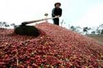 Giá cà phê hôm nay 18/10: Chuẩn bị vào mùa thu hoạch