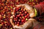 Giá nông sản hôm nay 19/3: Giá tiêu rớt mạnh sắp chạm giá thành, giá cà phê tăng trở lại