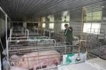 Giá heo hơi hôm nay 5/10: Giá lợn hơi tăng mạnh 186%, đã đến thời của các