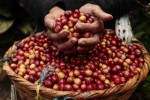 Giá nông sản hôm nay 20/3: Giá cà phê trên đà hồi phục, giá tiêu vẫn chưa có dấu hiệu ngừng giảm