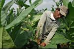 Petani Senang Harga Tembakau Alami Kenaikan