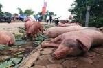 Ít nhất 4 năm nữa mới có vắc-xin phòng chống dịch tả lợn châu Phi