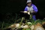 Cục Trồng trọt: Trước khi được 'giải cứu', người trồng củ cải đã lãi cao