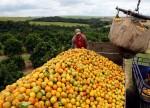 Greening se alastra para 18,15% dos laranjais de SP e MG, diz Fundecitrus