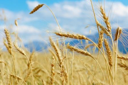 供应充足,美国小麦至2周低点