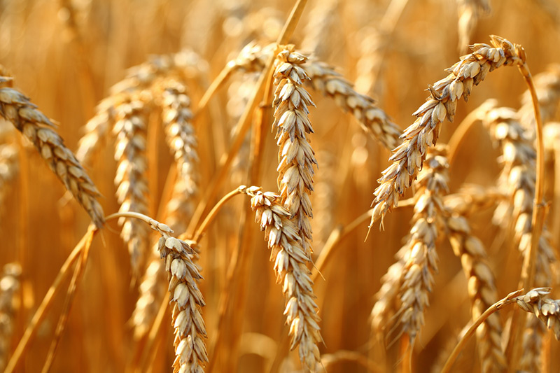 Japan offers to buy 84,683 tonnes of food wheat via tender