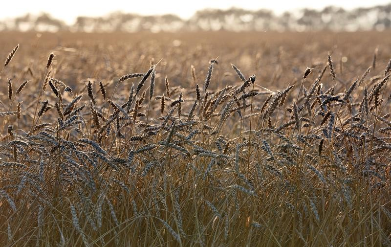 © Reuters. مصر تشتري 360 ألف طن من القمح الروسي والروماني والأوكراني