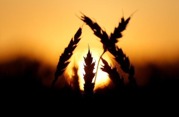 © Reuters. Колосья пшеницы на поле фермерской компании Солгонское