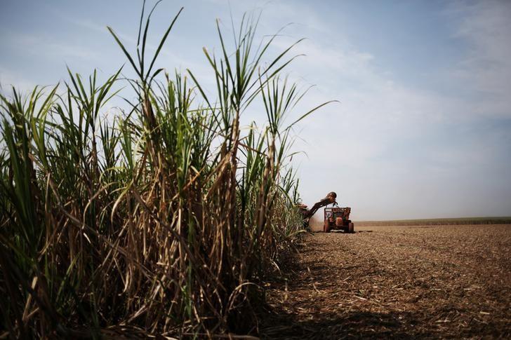 © Reuters. Colheita de cana-de-açúcar em Ribeirão Preto, no Estado de São Paulo