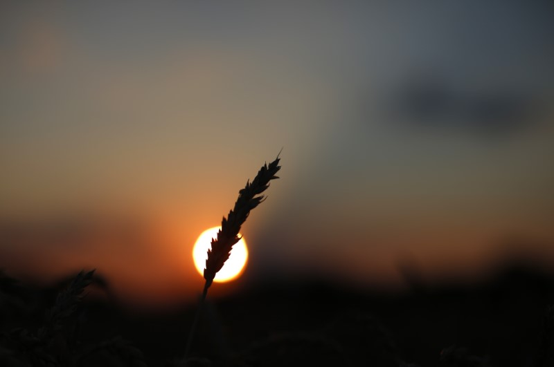 © Reuters. A stalk of soft red winter wheat is seen against the setting sun in Dixon, Illinois