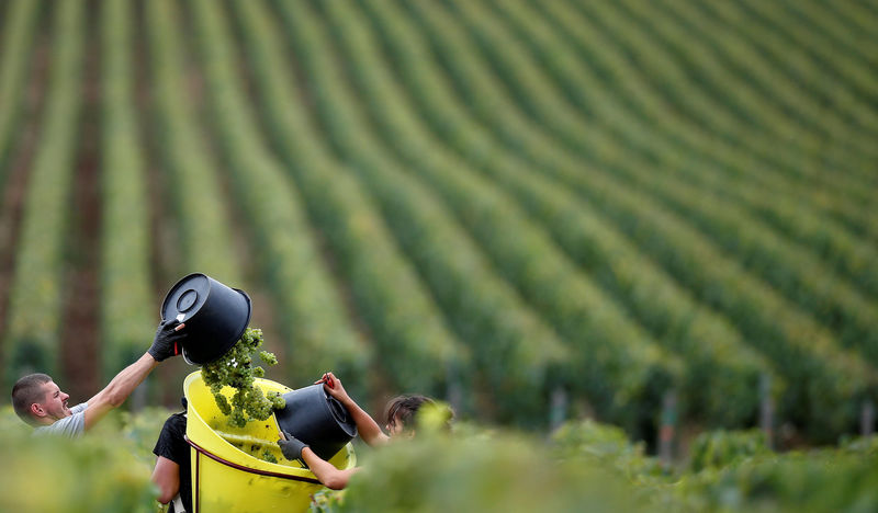 © Reuters. FILE PHOTO: Grape pickers harvest fruit at the Domaine Pinson vineyard during the Chablis wine harvest in Chablis