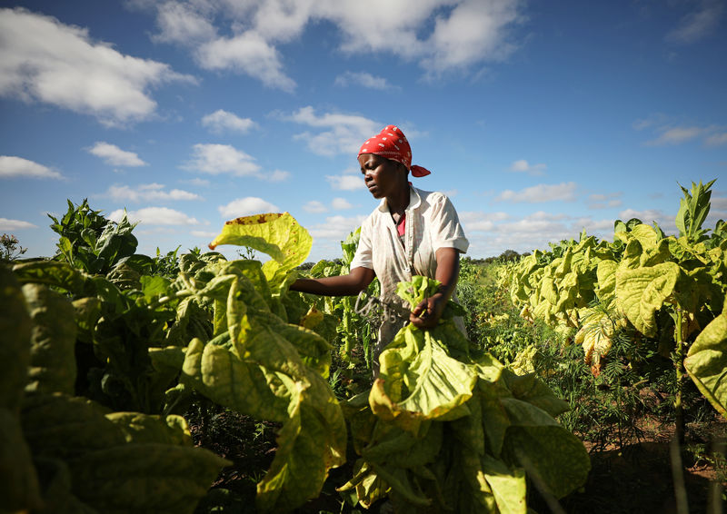 © Reuters. A woman harvests tobacco at a farm outside Harare