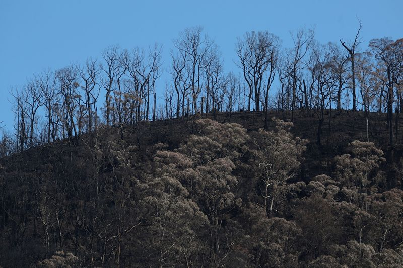 © Reuters. Charred trees are pictured on a hill burnt during the recent bushfires near Kangaroo Valley