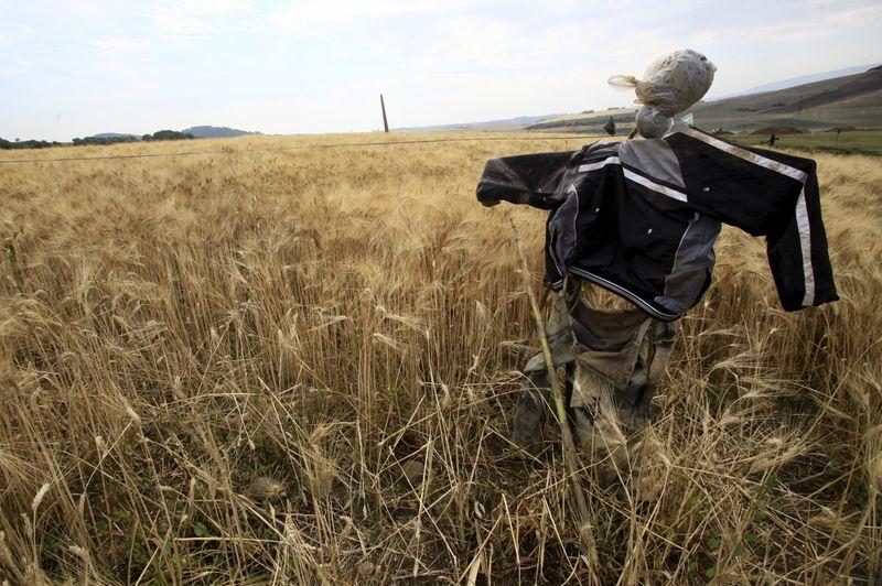 © Reuters. تجار: الجزائر تشتري قمحا للطحين من منشأ اختياري في مناقصة