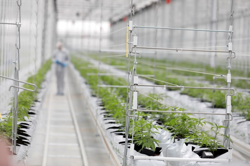 © Reuters. FILE PHOTO: Worker checks cannabis plants inside Tilray factory hothouse in Cantanhede