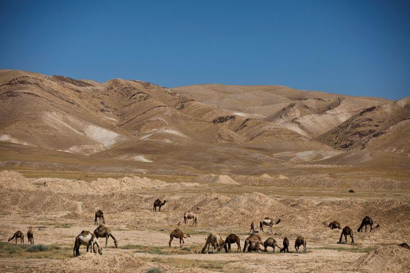 © Reuters. Los camellos pastan cerca de la antigua fortaleza del desierto de Hyrcania en Cisjordania, ocupada por Israel