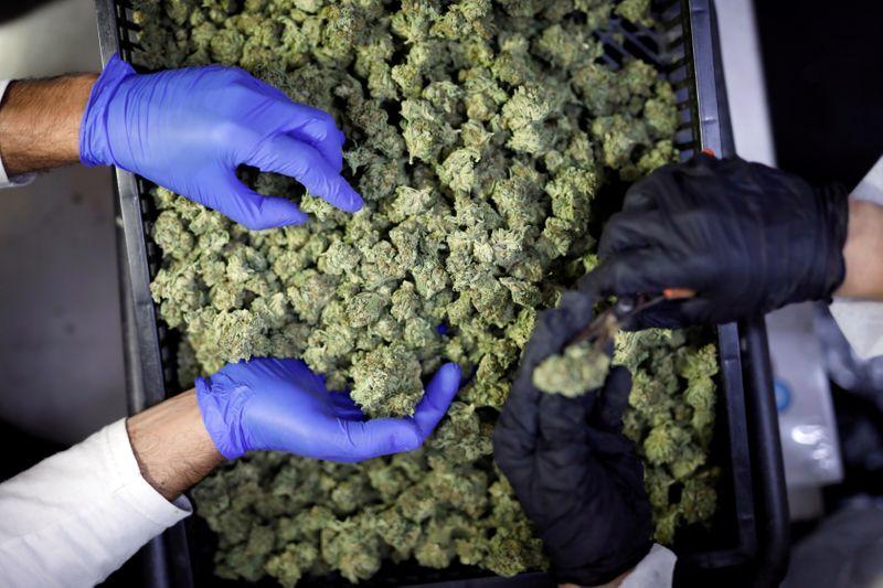 © Reuters. FILE PHOTO: Employees sort medical cannabis flowers at Pharmocann, an Israeli medical cannabis company in northern Israel