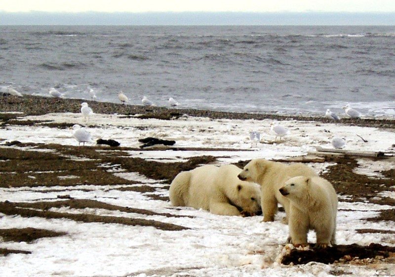 © Reuters. Polar bears are seen within the 1002 Area of the Arctic National Wildlife Refuge