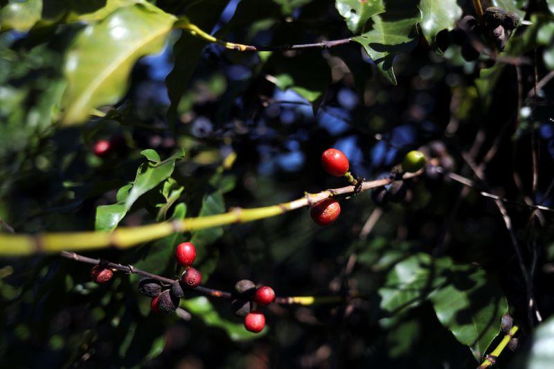Cooperativa Cooabriel inicia cosecha de café en Brasil, espera alza de volúmenes