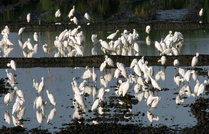© Reuters. الفلبين تحذر من قتل طيور مهاجرة بعد تفشي فيروس إنفلونزا الطيور