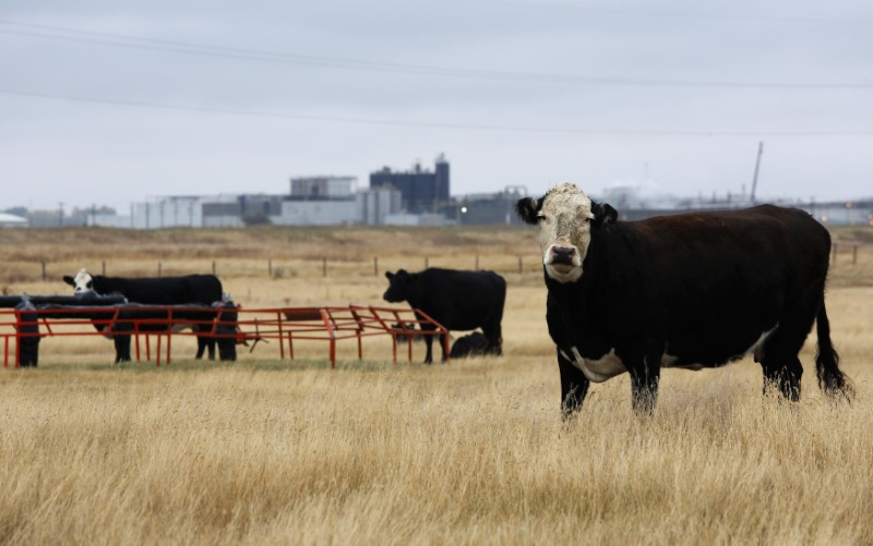 © Reuters. Cattle graze in a field near the XL Foods plant that sits idle in Brooks.