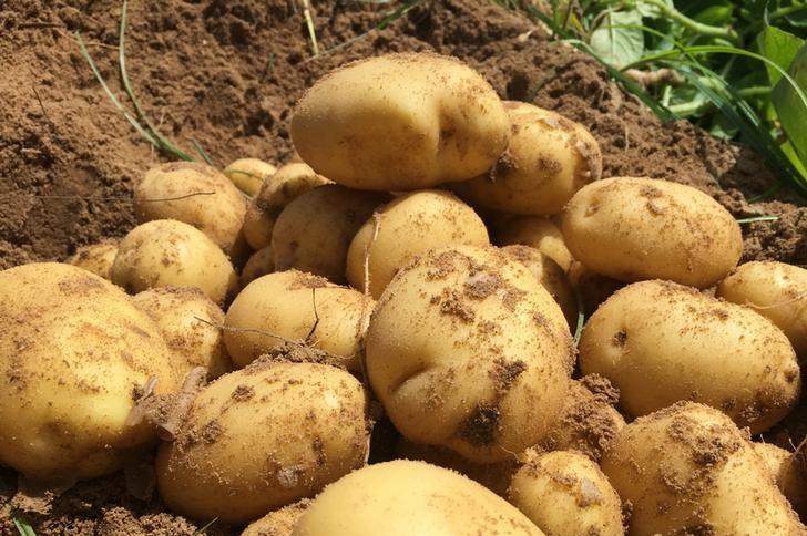 نتيجة بحث الصور عن روسيا وافقت على رفع حظر كان مفروضا على واردات البطاطا (البطاطس