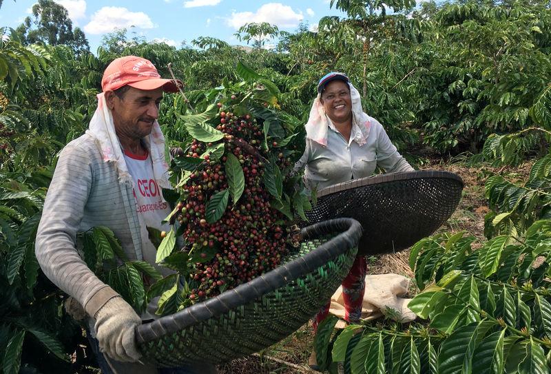 © Reuters. Trabalhadores durante colheita de café robusta em São Gabriel da Palha, no Espírito Santo