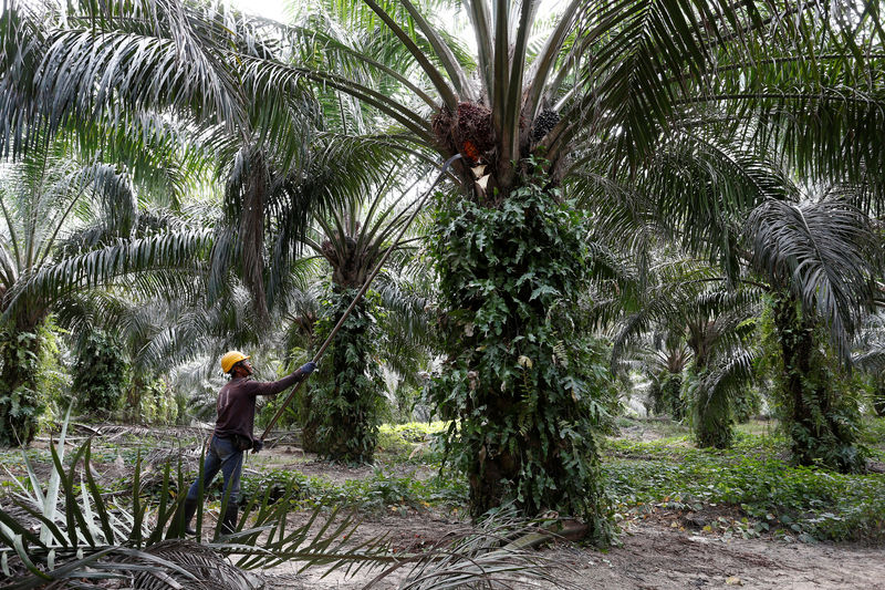 © Reuters. A worker collects palm oil fruits at a plantation in Bahau, Negeri Sembilan