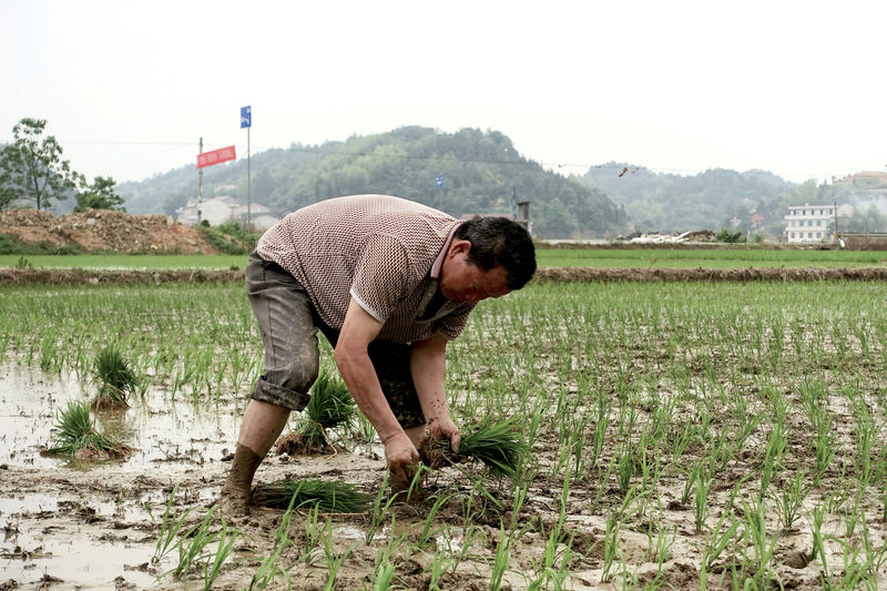 © Reuters. FILE PHOTO:  Farmer plants seedlings at a field in Dongfeng village